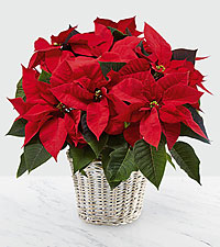 The FTD® Red Poinsettia Basket (lge)