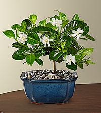 Blossoming Abundance Gardenia Bonsai - 6'H