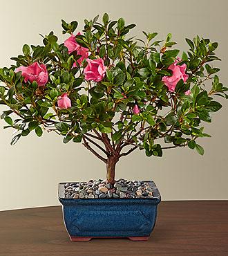 Blooming Azalea Bonsai - 10-inch
