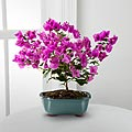 The FTD® Rare Beauty Bonsai by Better Homes and Gardens®