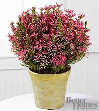 The FTD® Lasting Impressions Pink Heather Plant by Better Homes and Gardens™