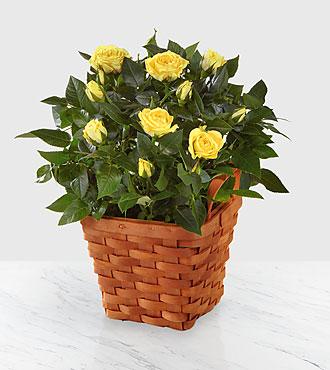 Lighthearted Moments Mini Rose Plant
